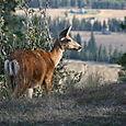 Deer (original)