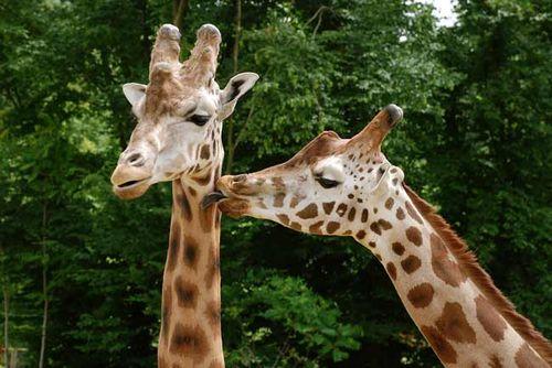 Kissing_giraffes_alex_korti