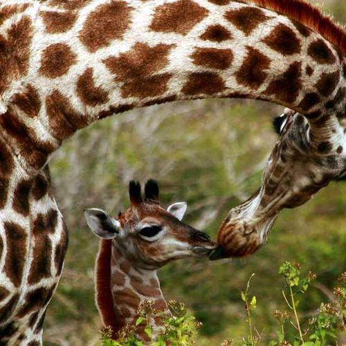 Giraffe_mom_kissing_new_bab