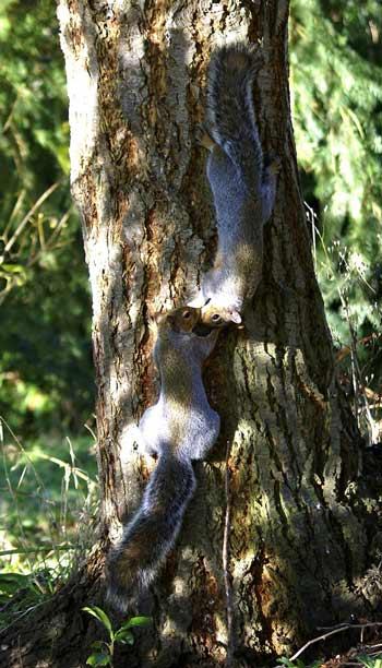 Squirrels_kissing