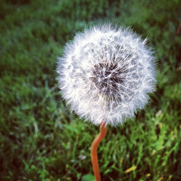 Dandelion_Hairdo