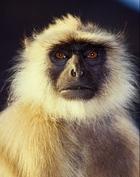 Indian_monkey_2